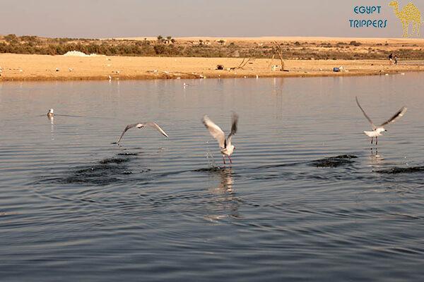 Swazi or Fayoum feathers
